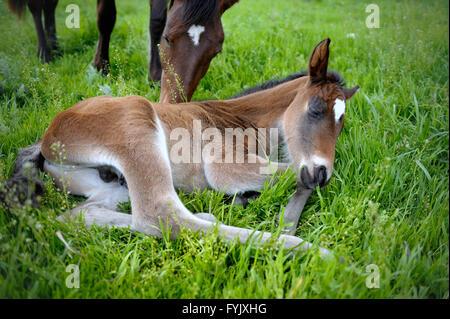 Ein schlafender Fohlen. - Stockfoto