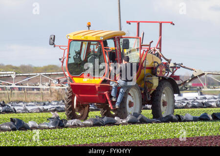 Hesketh Bank, Lancashire, UK. 27. April 2016. UK Wetter: Landwirte in der Salatschüssel von Lancashire sind hielt - Stockfoto