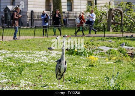 Graureiher posiert in St. James Park, London England Vereinigtes Königreich UK - Stockfoto
