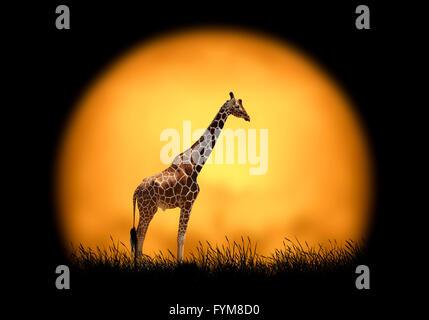 Giraffe auf dem Hintergrund des Sonnenuntergangs. Große Sonnenterrasse auf einem dunklen Hintergrund - Stockfoto