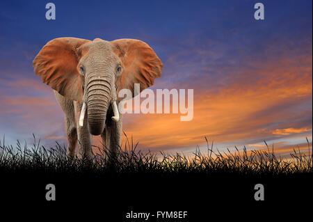 Elefant gegen auf dem Hintergrund der Sonnenuntergang Himmel - Stockfoto