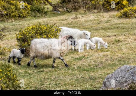Schaf-Familie Weiden im Park Dartmoor in Südengland. - Stockfoto