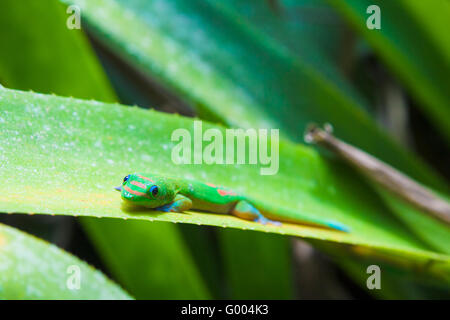 Bunte Geckos und Bromelien Portea Pflanzen - Stockfoto