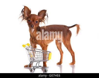 Lustige kleine Hund. Russkiy Toy Terrier auf einem weißen b - Stockfoto