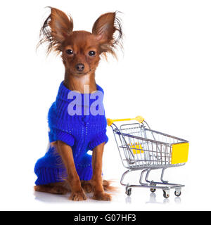 Toy Terrier mit Warenkorb isoliert auf weiss. - Stockfoto