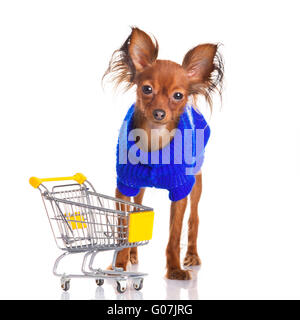 Toy Terrier mit Warenkorb isoliert auf weiss - Stockfoto