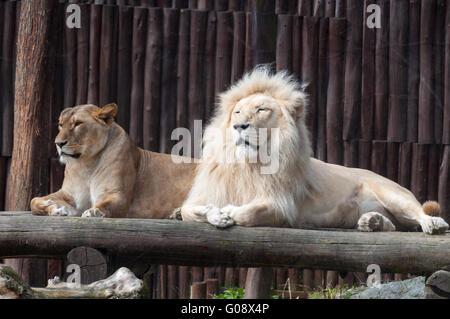 Südafrikanischen weißen Löwe und Löwin (Panthera Leo Krugeri) genießen Sie einen warmen Frühling Tag, ZOO Bratislava, - Stockfoto