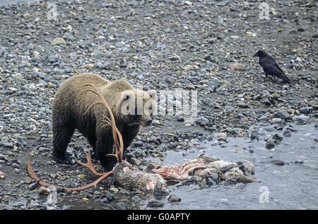 Grizzlybär Stand in der Nähe ein Karibu-Kadaver - Stockfoto