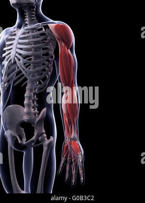 Abbildung der Arm Knochen gerendert Stockfoto, Bild: 144619577 - Alamy