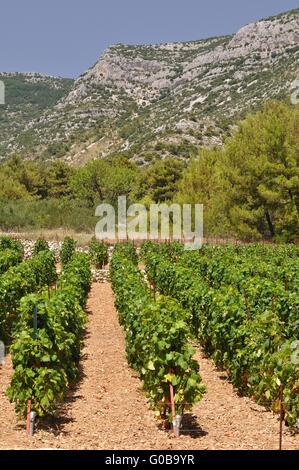 Weinberg in Bol auf der Insel Brac in Split - Dalmatien Grafschaft von Kroatien - Stockfoto