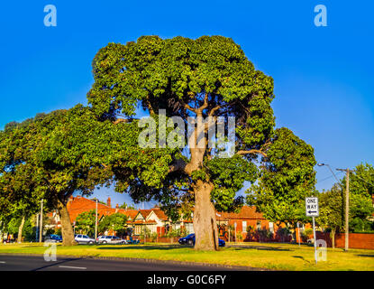 Großer Baum in der Natur Streifen in der Mitte der Straße im Albert Park in Melbourne, Australien - Stockfoto