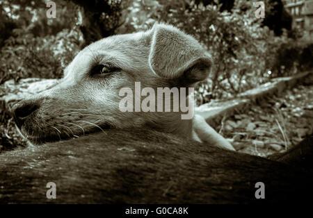 schwarzen & weiß getönten Schuss eines Welpen hielt seinen Kopf auf seine Mutter zurück - Stockfoto