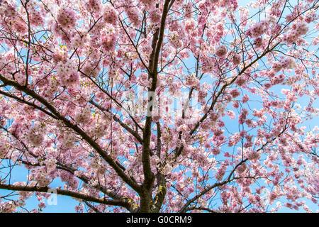 Blühende Zierpflanzen Kirsche, Japanische Zierkirsche, Prunus Serrulata, rosa Blüten, Frühling, - Stockfoto