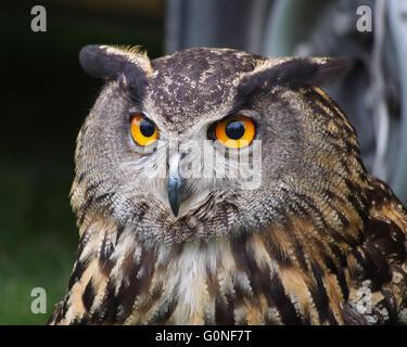 Nahaufnahme des Kopfes eine eurasische Adler-Eule (Bubo Bubo) - Stockfoto