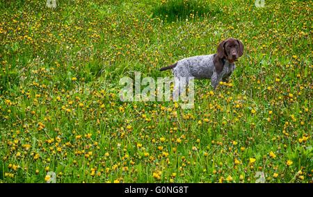 Welpe läuft in der Löwenzahn - Deutscher Kurzhaariger Vorstehhund Welpen - Stockfoto
