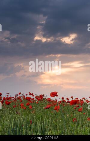 Dramatische bewölkten Himmel bei Sonnenuntergang über leuchtend roten Klatschmohn, wächst in einem Weizenfeld - - Stockfoto