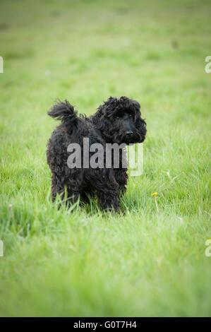 Ein junger schwarzer Cockapoo Hund auf einem Spaziergang im Wald an einem sonnigen Tag. - Stockfoto