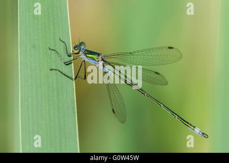 Männliche Emerald Damselfly Lestes Sponsa ruht auf Reed Stamm - Stockfoto