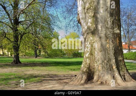 Platanus Orientalis - alte Platane im Park. Prag, Tschechische Republik - Stockfoto