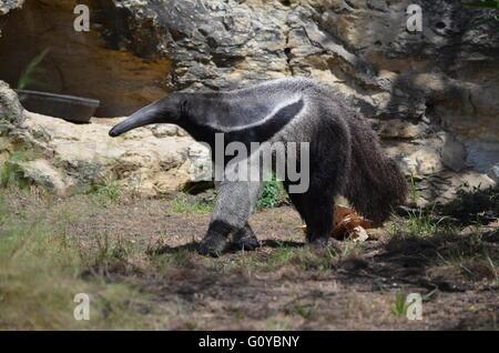 Großer Ameisenbär an San Antonio Zoo San Antonio Texas - Stockfoto