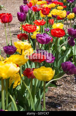 Nahaufnahme von bunten Tulpen (rot, gelb und lila) in einer Zeile in einer Blumen gepflanzt - Stockfoto