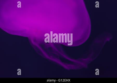 Quallen im Aquarium beleuchtet in lila. Künstlerische Darstellung. Stockfoto