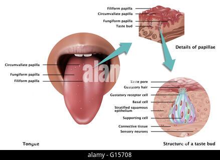 Abbildung zeigt die Anatomie des Geschmacks. Auf der linken Seite ...
