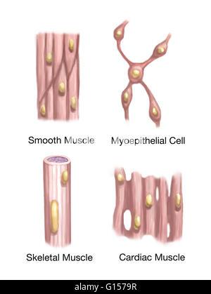 Abbildung einer Herzmuskel-Zelle zeigt der internen Struktur gesehen ...