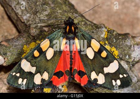 Scharlachrote Tiger Moth (Art Dominula) mit Flügel geöffnet und roten Hinterflügel. Bunte Insekt in der Familie - Stockfoto
