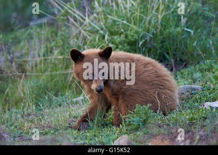 Schwarzer Bär (Ursus Americanus), Zimt Jährling Cub, Yellowstone-Nationalpark, Wyoming, Vereinigte Staaten von Amerika - Stockfoto