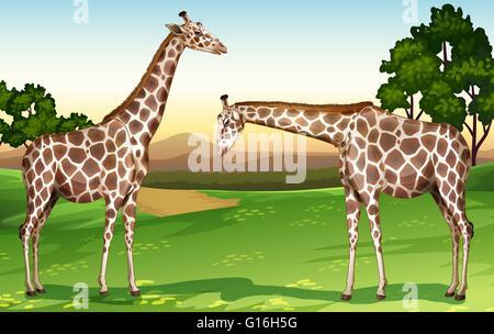 Zwei Giraffen in der Feld-Abbildung - Stockfoto