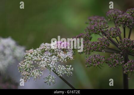 Blüht der Garten Angelica (Angelica Archangelica). - Stockfoto