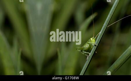 Heuschrecke-Pose in der Natur - Stockfoto