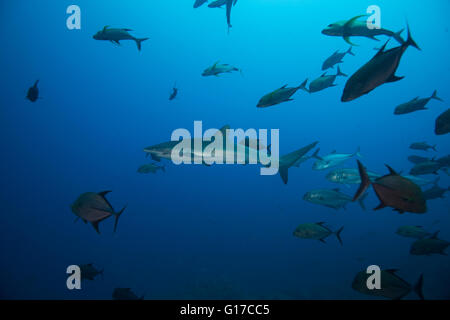 Unterwasserblick Untiefe seidig Hai (Carcharhinus Falciformis) San Benedicto, Revillagigedo, Colima, Mexiko - Stockfoto