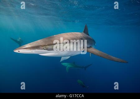 Unterwasser-Blick von seidig Hai (Carcharhinus Falciformis) San Benedicto, Revillagigedo, Colima, Mexiko - Stockfoto