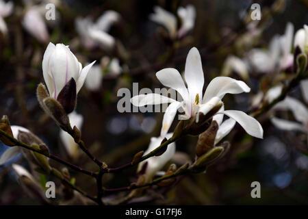 Magnolia Kobus Blume Blumen Blüte Blüten Laub-Garten weiße Magnolien ...
