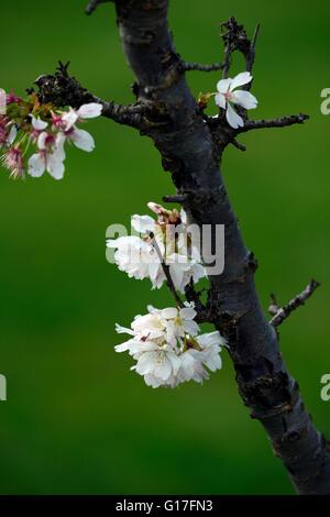 Ein Cluster von kleinen weißen Blüten Stockfoto, Bild: 57889414 - Alamy