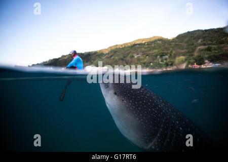 Einen riesigen Walhai (Rhincodon Typus) Schwimmen unter einem Boot,, Cebu, Philippinen - Stockfoto