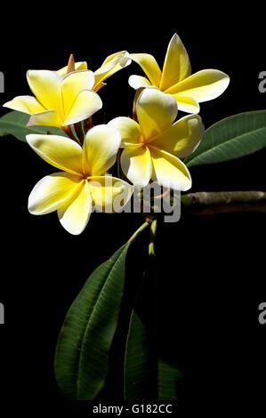 Frangipani Blumen blühen in der Sonne Stockfoto, Bild: 145306656 - Alamy