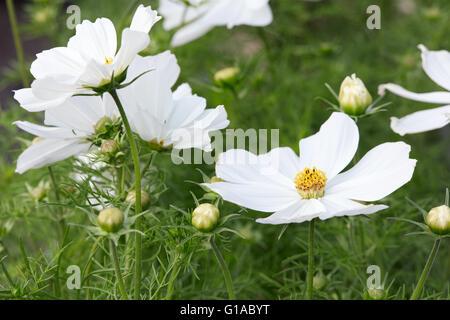 Weiße Garten Kosmos Blumen, Cosmos Bipinnatus oder mexikanische ...
