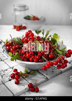 Frisch gepflückt Beeren vom Weißdorn Strauch, auch genannt Thornapple, Mai-Baum, Weißdorn, Hawberry (Crataegus Monogyna) - Stockfoto