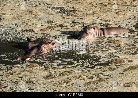 Kenia, Masai Mara Wildreservat, Flusspferd (Hippopotamus Amphibius), weibliche und junge - Stockfoto