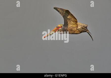 Brauner Pelikan im Flug.  linken Seite.  Wissenschaftlicher Name ist Pelecanus Occidentalis.  Zucht Gefieder leuchtet - Stockfoto
