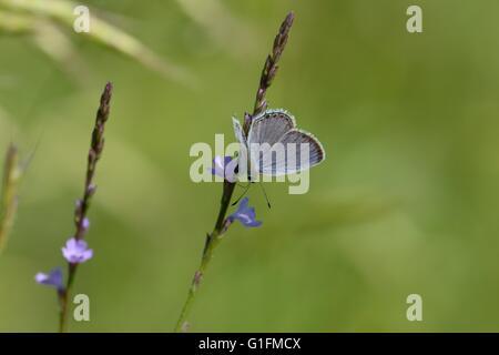Östlichen Tailed-blau Stockfoto