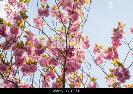 Frühlingsblumen Sie Rosa, Prunus Kanzan Kwanzan Kirschblüte auf Ästen - Stockfoto