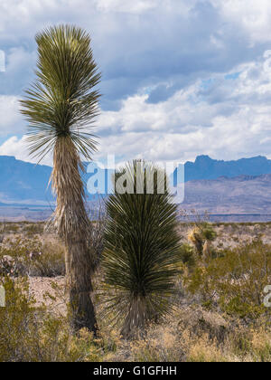 Soaptree Yucca (Yucca Elata), River Road East, Big Bend Nationalpark, Texas. - Stockfoto