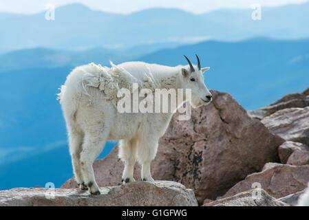 Bergziege (Oreamnos Americanus), Mount Evans Wilderness Area Rocky Mountains, Colorado USA - Stockfoto