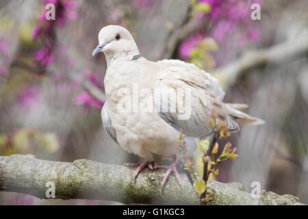 Eurasian collared Dove, Streptopelia Decaocto, thront auf einem Zweig der Pfirsichbaum in Blüten - Stockfoto