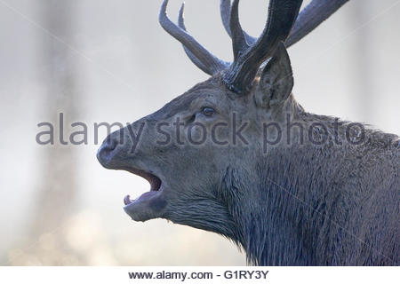 Rothirsch Cervus Elaphus Hirsch brüllen nach wälzen während der Brunftzeit New Forest Nation Park Hampshire England - Stockfoto