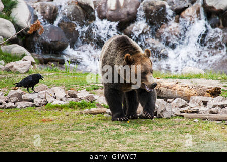 Grizzly Bär Ursus Arctos und gemeinsamen raven Corvus Corax in den Grizzly and Wolf Discovery West Yellowstone, - Stockfoto
